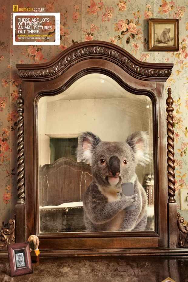 national-geographic-koala