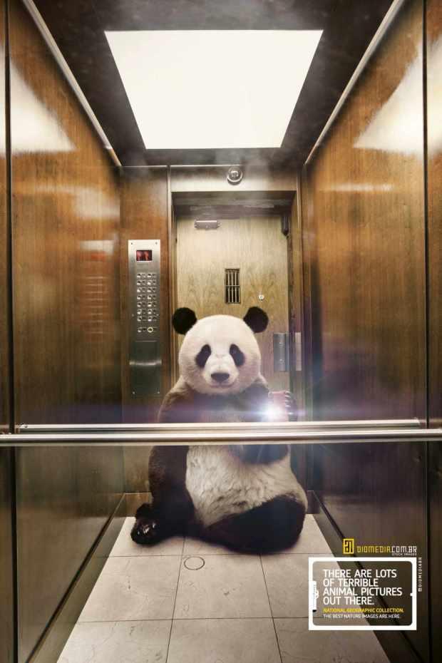 national-geographic-panda